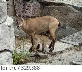 Купить «Самка дагестанского тура (Capra cylindricornis) кормит малыша», фото № 329388, снято 23 мая 2019 г. (c) Александр Висляев / Фотобанк Лори