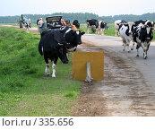 Купить «Коровы остановились у знака», фото № 335656, снято 21 мая 2005 г. (c) sav / Фотобанк Лори