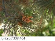 Купить «Маленькие шишки», фото № 338404, снято 7 июня 2007 г. (c) Чепелев Егор / Фотобанк Лори