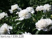 Купить «Белые цветы», фото № 339228, снято 29 июня 2008 г. (c) Усик Сергей Викторович / Фотобанк Лори