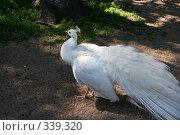 Купить «Белый павлин», фото № 339320, снято 22 июня 2008 г. (c) Галина Беззубова / Фотобанк Лори
