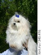 Мальтийская болонка ( Maltese lap dog ) Стоковое фото, фотограф ElenArt / Фотобанк Лори
