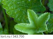 Купить «Роса на листе», фото № 343700, снято 29 июня 2008 г. (c) Игорь Р / Фотобанк Лори