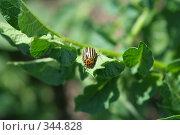 Купить «Колорадский жук на картофельном листе», фото № 344828, снято 15 июня 2008 г. (c) Андрей Рыбачук / Фотобанк Лори