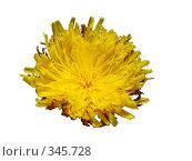 Купить «Цветок одуванчика. Изолированно.», фото № 345728, снято 21 сентября 2018 г. (c) Ivan Markeev / Фотобанк Лори