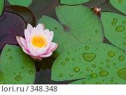Купить «Кувшинка или водяная лилия.Дендрарий города Сочи.», фото № 348348, снято 3 июля 2008 г. (c) Федор Королевский / Фотобанк Лори