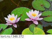 Купить «Кувшинка или водяная лилия.Дендрарий города Сочи.», фото № 348372, снято 3 июля 2008 г. (c) Федор Королевский / Фотобанк Лори