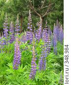 Купить «Люпин в сосновом лесу», фото № 348984, снято 13 июня 2008 г. (c) Хименков Николай / Фотобанк Лори