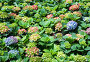 Цветы гортензии (Hydrangea), фото № 353700, снято 25 апреля 2008 г. (c) ММ / Фотобанк Лори