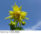Купить «Жёлтая георгина», фото № 354800, снято 8 июля 2008 г. (c) Владимир Ильин / Фотобанк Лори