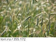 Колосья на ветру. Стоковое фото, фотограф Светлана Симонова / Фотобанк Лори
