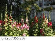 Купить «Цветущие мальвы во дворе жилого дома», фото № 355856, снято 13 июля 2008 г. (c) Артем Ефимов / Фотобанк Лори