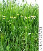Купить «Луговая трава», фото № 357772, снято 25 мая 2008 г. (c) Светлана / Фотобанк Лори