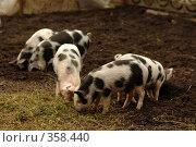 Купить «Свиньи», фото № 358440, снято 16 августа 2018 г. (c) Олег / Фотобанк Лори