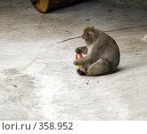 Купить «Японская макака (Macaca fuscata)», фото № 358952, снято 3 июля 2008 г. (c) Михаил Крекин / Фотобанк Лори