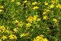 Золото на зеленом. Июльский луг., фото № 359728, снято 28 июня 2017 г. (c) Виктор Пелих / Фотобанк Лори