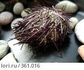 Купить «Засушенный морской еж», фото № 361016, снято 16 июля 2008 г. (c) Софья Ханджи / Фотобанк Лори