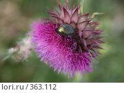 Купить «Бронзовка золотистая на цветке репейника», фото № 363112, снято 19 июля 2008 г. (c) Марат Кабиров / Фотобанк Лори