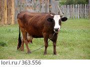 Купить «Корова показывает язык», фото № 363556, снято 12 июня 2008 г. (c) Светлана Симонова / Фотобанк Лори