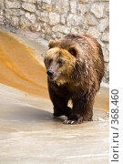 Купить «Бурый медведь (Ursus arctos)», фото № 368460, снято 3 июля 2008 г. (c) Михаил Крекин / Фотобанк Лори