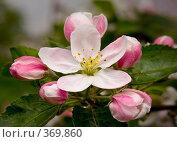 Цвет яблони. Стоковое фото, фотограф Сергей Бондарук / Фотобанк Лори