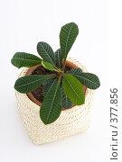 Купить «Комнатное растение - молочай», фото № 377856, снято 29 июля 2008 г. (c) Лисовская Наталья / Фотобанк Лори