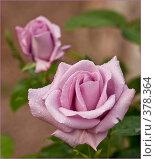Купить «Розы», фото № 378364, снято 8 июня 2008 г. (c) Сергей Бондарук / Фотобанк Лори