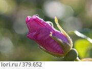 Купить «Бутон розы», фото № 379652, снято 21 июля 2007 г. (c) Андрей Некрасов / Фотобанк Лори