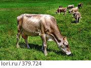 Купить «Корова пасется на лугу», эксклюзивное фото № 379724, снято 15 августа 2018 г. (c) Николай Винокуров / Фотобанк Лори