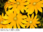 Купить «Цветы рудбекии», фото № 381336, снято 25 июля 2008 г. (c) Tyurina Ekaterina / Фотобанк Лори