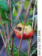 Купить «Больной подгнивший помидор на грядке», фото № 381644, снято 31 июля 2008 г. (c) Артём Анисимов / Фотобанк Лори