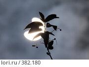 Купить «Солнечное затмение сквозь ветку дерева», фото № 382180, снято 1 августа 2008 г. (c) Argument / Фотобанк Лори