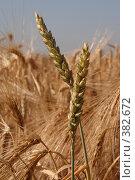 Купить «Колосья пшеницы крупно», фото № 382672, снято 1 июля 2008 г. (c) Архипова Мария / Фотобанк Лори