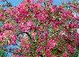 Цветение декоративной яблони, фото № 383508, снято 26 мая 2008 г. (c) Кардаполова Наталья / Фотобанк Лори