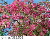 Купить «Цветение декоративной яблони», фото № 383508, снято 26 мая 2008 г. (c) Кардаполова Наталья / Фотобанк Лори