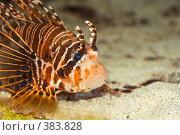 Купить «Рыба - крылатка», фото № 383828, снято 12 июля 2008 г. (c) Tyurina Ekaterina / Фотобанк Лори