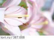 Купить «Светло-розовая лилия с четкими тычинками и размытым задним планом», фото № 387008, снято 27 июля 2008 г. (c) Андрей Водилин / Фотобанк Лори