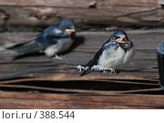 Купить «Птенцы ласточек», фото № 388544, снято 28 июля 2008 г. (c) Нестерова Анна / Фотобанк Лори