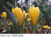 Купить «Крокус желтый», фото № 393636, снято 8 апреля 2008 г. (c) Тарасова Татьяна / Фотобанк Лори