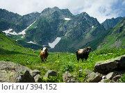 Купить «Коровы. Альпийские луга. Абхазия.», фото № 394152, снято 26 июля 2008 г. (c) Руслан Керимов / Фотобанк Лори