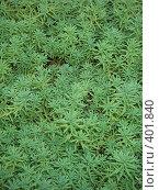 Купить «Фон, декоративное растение», фото № 401840, снято 13 августа 2008 г. (c) Алла Кригер / Фотобанк Лори