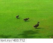 Купить «Три утки на прогулке», фото № 403712, снято 7 августа 2008 г. (c) Ирина Кочергина / Фотобанк Лори