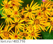 Купить «Солнечные цветы», фото № 403716, снято 6 августа 2008 г. (c) Ирина Кочергина / Фотобанк Лори