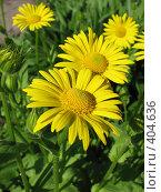 Купить «Дороникум подорожниковый - Doronicum plantagineum», фото № 404636, снято 18 июня 2008 г. (c) Беляева Наталья / Фотобанк Лори