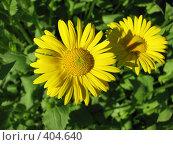 Купить «Дороникум подорожниковый - Doronicum plantagineum», фото № 404640, снято 18 июня 2008 г. (c) Беляева Наталья / Фотобанк Лори