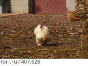 Купить «Курица», фото № 407628, снято 17 августа 2008 г. (c) Алексей Ефимов / Фотобанк Лори