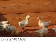 Купить «Цыплята», фото № 407632, снято 17 августа 2008 г. (c) Алексей Ефимов / Фотобанк Лори