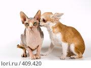 Купить «Щенок чихуахуа с канадским сфинксом», фото № 409420, снято 31 июля 2008 г. (c) Vladimir Suponev / Фотобанк Лори