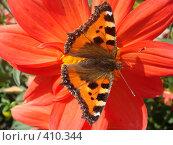 Купить «Яркая бабочка на красном цветке», фото № 410344, снято 16 августа 2008 г. (c) Евгения Лаврова / Фотобанк Лори