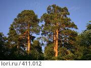 Купить «Сосны, освещенные солнцем», фото № 411012, снято 12 июля 2008 г. (c) Наталья Волкова / Фотобанк Лори